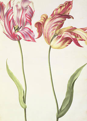 Tulip Painting - Tulips by Nicolas Robert