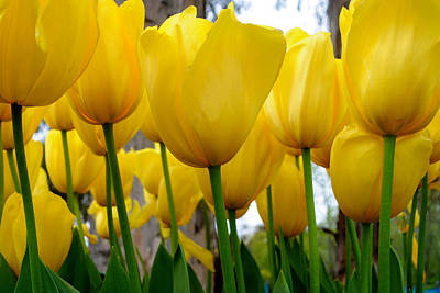 Photograph - Tulips Of Gold by Sally Nevin