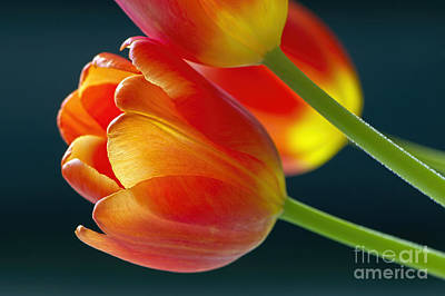 Backlit Tulip Photograph - Tulips On Black 2a by Sharon Talson