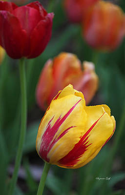 Bulb Photograph - Tulips On Fire II by Suzanne Gaff