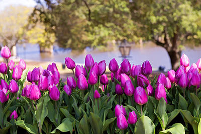 Natchitoches Photograph - Tulips On The Cane River by Bonnie Barry