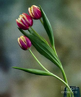 Art Print featuring the photograph Tulips by Shirley Mangini