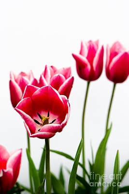 Photograph - Tulips Say Hello by Michael Arend