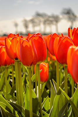 Photograph - Tulips Standing Tall  by Yvon van der Wijk