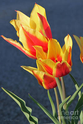 Photograph - Tulips by Todd Blanchard