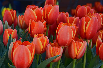 Photograph - Tulips Tulips Tulips by Jeanne May