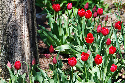 Photograph - Tulips Under The Tree by Aimee L Maher Photography and Art Visit ALMGallerydotcom