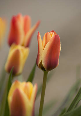 Lale Photograph - Tulips by Veli Bariskan