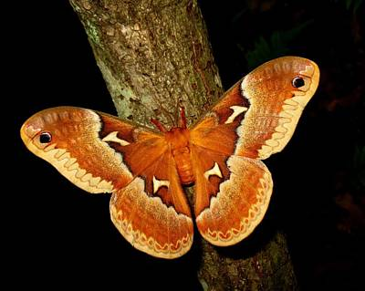 Art Print featuring the photograph Tuliptree Silkmoth by William Tanneberger
