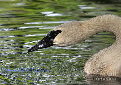 Photograph - Tundra Swan by Kathy Baccari