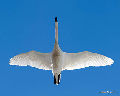 Photograph - Tundra Swan Overhead by Avian Resources