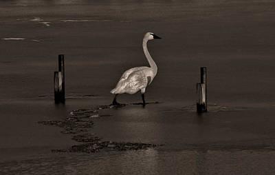 Tundra Swan Photograph - Tundra Swan by Robert Geary