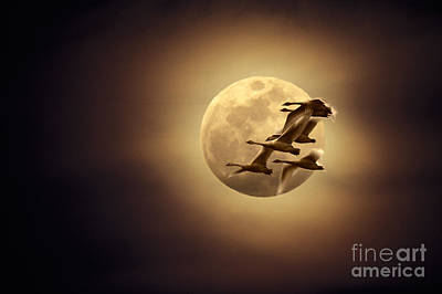 Tundra Swans And Moonglow Art Print by Ron Sanford