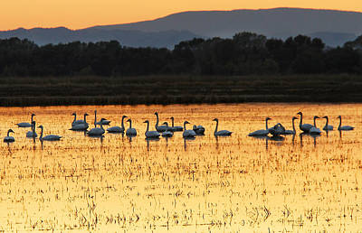 Photograph - Tundra Swans In A Rice Field by Robert Woodward