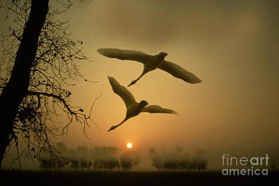 Tundra Swans In Flight Art Print by Ron Sanford