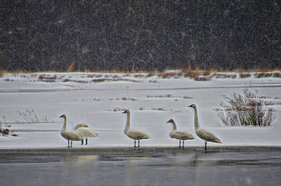Photograph - Tundra Swans In The Snow by Beth Sawickie