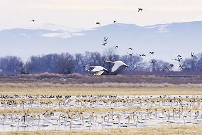 Wings Photograph - Tundra Swans by Priya Ghose