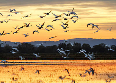 Photograph - Tundra Swans by Robert Woodward