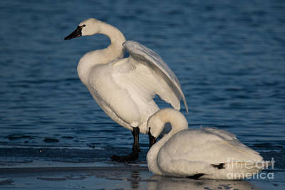 Photograph - Tundra Swans by Ronald Grogan