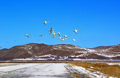 Tundra Swans Take Flight  Art Print