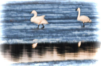 Photograph - Tundra Swans Walking On Ice by Beth Sawickie