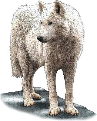 Photograph - Tundra Wolf by Roger Hall