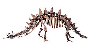 Paleontology Photograph - Tuojiangosaurus Skeleton by Dorling Kindersley/uig