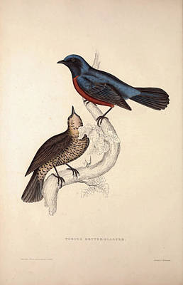 Exotic Drawing - Turdus Erythrogaster. Birds From The Himalaya Mountains by Quint Lox