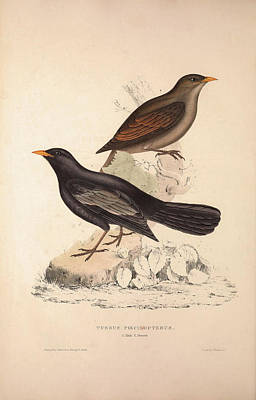 Asian Artist Drawing - Turdus Poecilopterus, Aztec Thrush. Birds From The Himalaya by Quint Lox