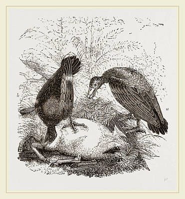 Turkey-buzzard,  Black Vulture Art Print by Litz Collection