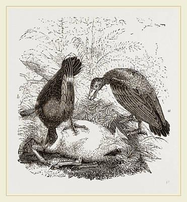 Buzzard Drawing - Turkey-buzzard,  Black Vulture by Litz Collection