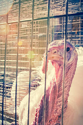 Photograph - Turkey In The Cage by Caitlyn  Grasso