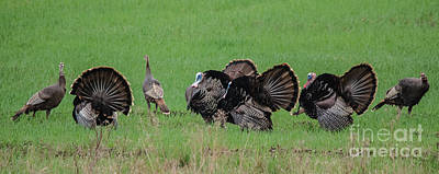 Photograph - Turkey Mating Ritual by Cheryl Baxter