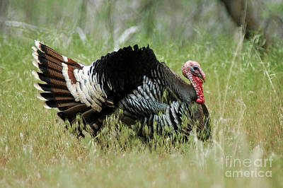 902p Wild Tom Turkey Art Print