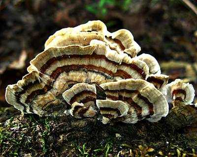 Turkey Tail Fungi Art Print by William Tanneberger