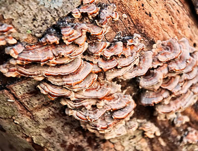 Digital Art - Turkey Tail Tree Fungus by Chris Flees