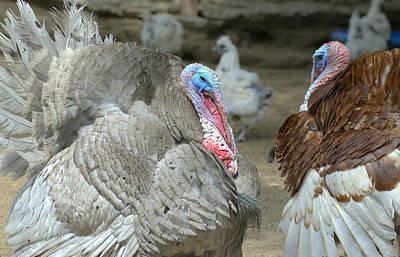 Photograph - Turkey Trot by Fraida Gutovich