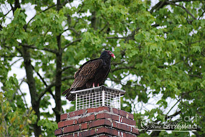 Photograph - Turkey Vulture 20120423_5a by Tina Hopkins