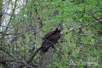 Photograph - Turkey Vulture 20120430_47a by Tina Hopkins