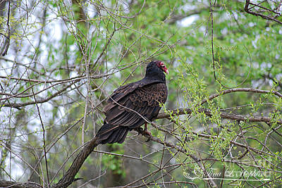 Photograph - Turkey Vulture 20120430_61a by Tina Hopkins