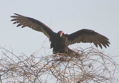 Photograph - Turkey Vulture by Ellen Meakin
