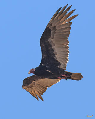 Photograph - Turkey Vulture Soaring Overhead Drb153 by Gerry Gantt