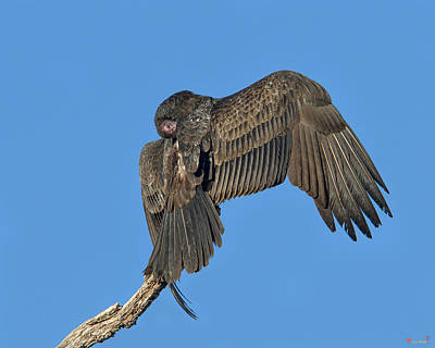 Photograph - Turkey Vulture Sunning And Preening Drb185 by Gerry Gantt
