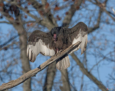 Photograph - Turkey Vulture Sunning And Preening Drb186 by Gerry Gantt
