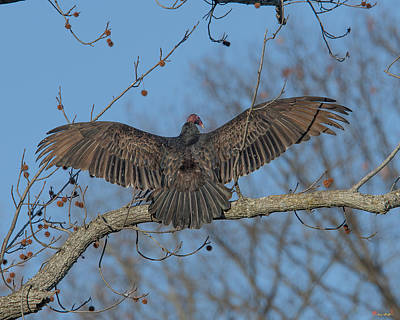 Photograph - Turkey Vulture Sunning Drb183 by Gerry Gantt