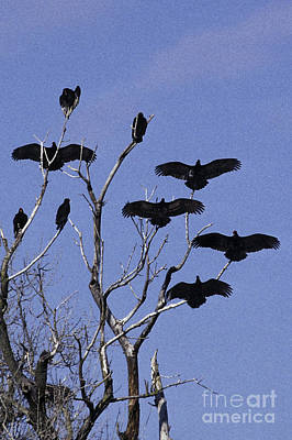 Buzzard Photograph - Turkey Vultures by Ron Sanford