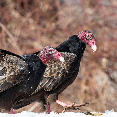 Vulture Photograph - Turkey Vultures Square by Bill Wakeley