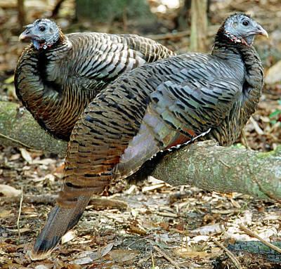 Photograph - Turkeys by Millard H. Sharp