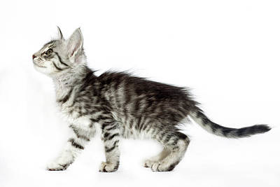 78aab5743b8510 Cat People Wall Art - Photograph - Turkish Angora by Agency Animal Picture