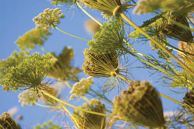 Digital Art - Turkish Cow Parsley Heads by David Davies